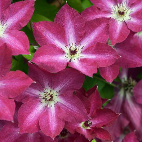 Clematis Viva Polonia's deep pink flowers with white star center