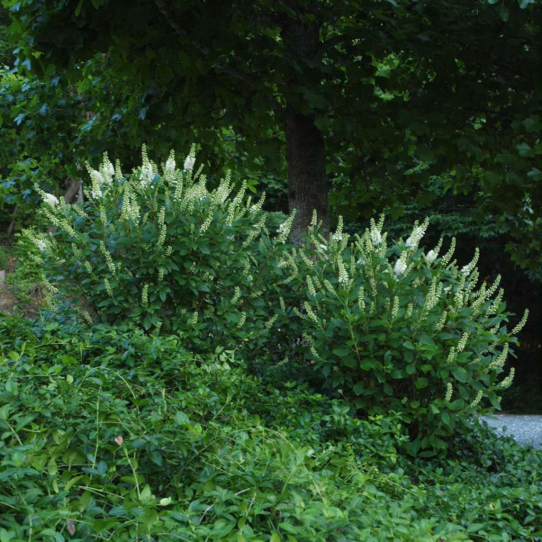 Pair of Sugartina Crystalina Clethra in landscape