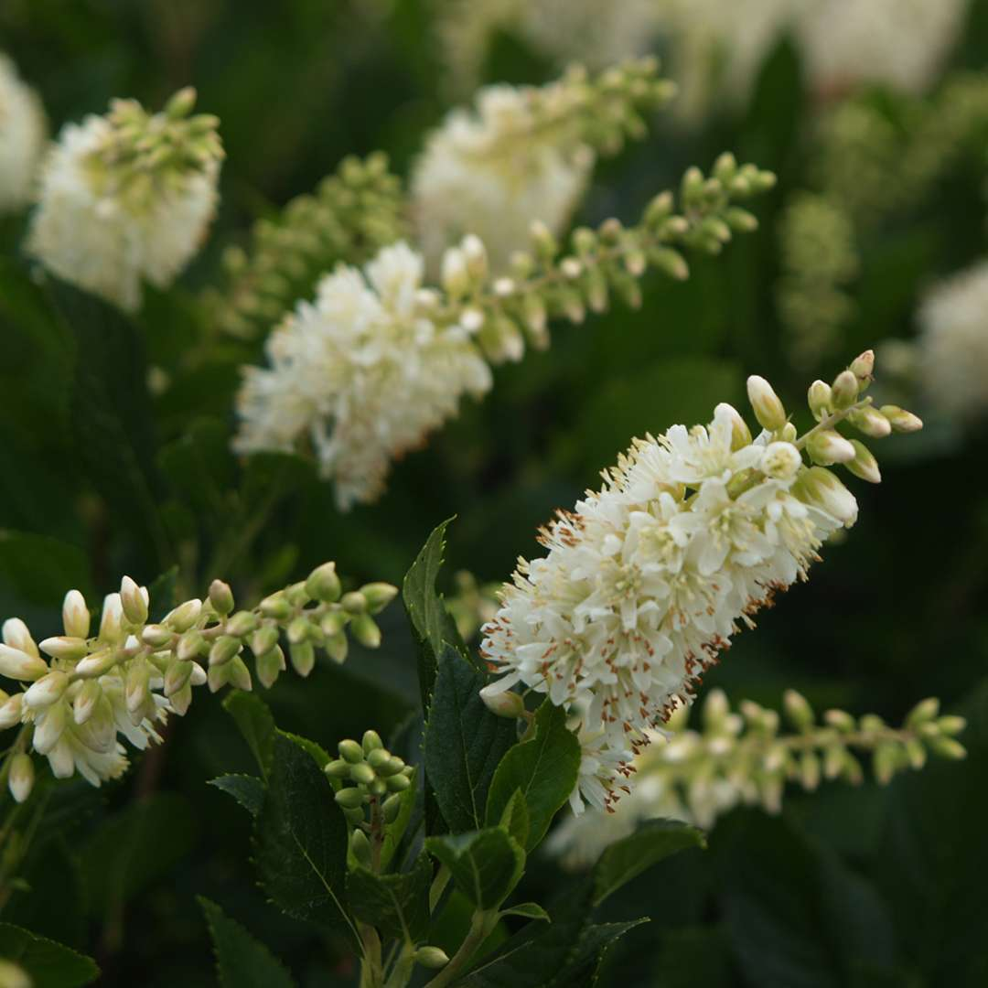 Close up of spiky white Sugartina Crystalina Clethra flowers