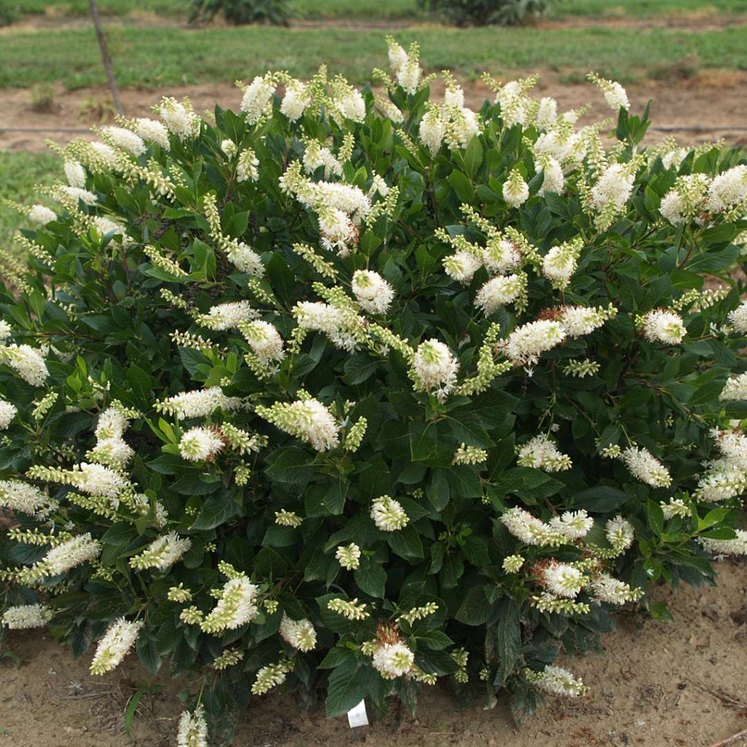 In bloom Sugartina Crystalina Clethra in trial field