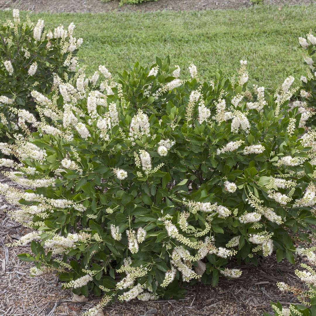 Vanilla Spice Clethra in landscape
