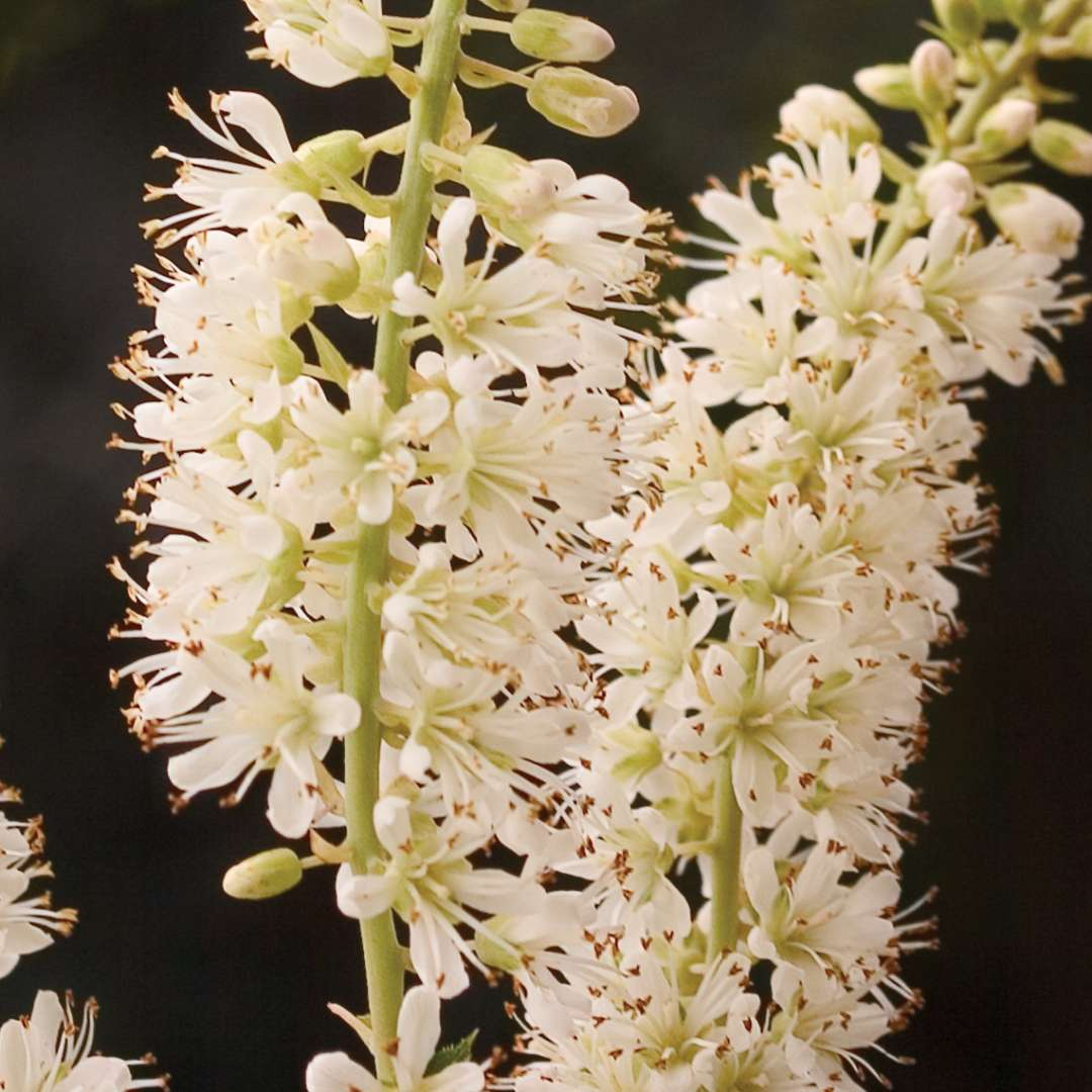 Close up of two Vanilla Spice Clethra flowers