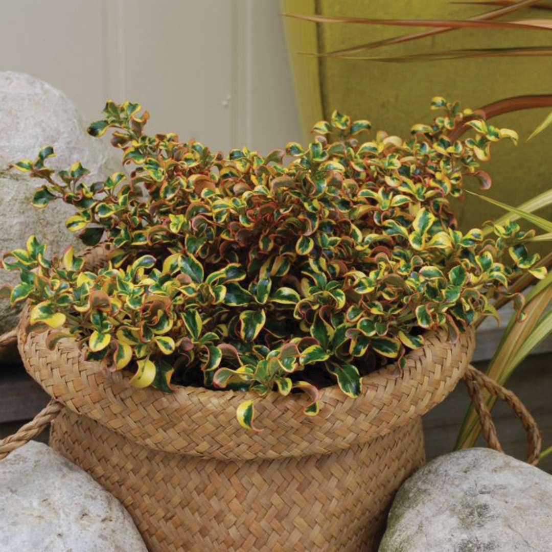 Waxwing Gold Coprosma Spring Meadow Wholesale Liners