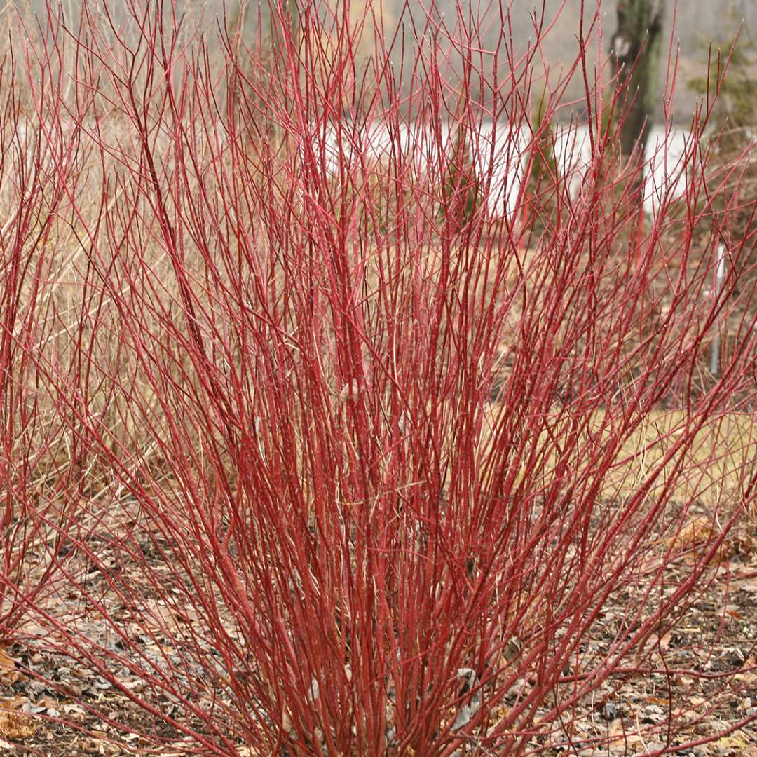 Bright red Arctic Fire Cornus in early spring landscape