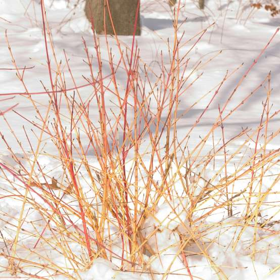 Yellow rose stems of Arctic Fire Cornus in snow