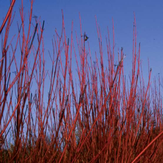 Red branches of Cornus Baileyi against blue sky