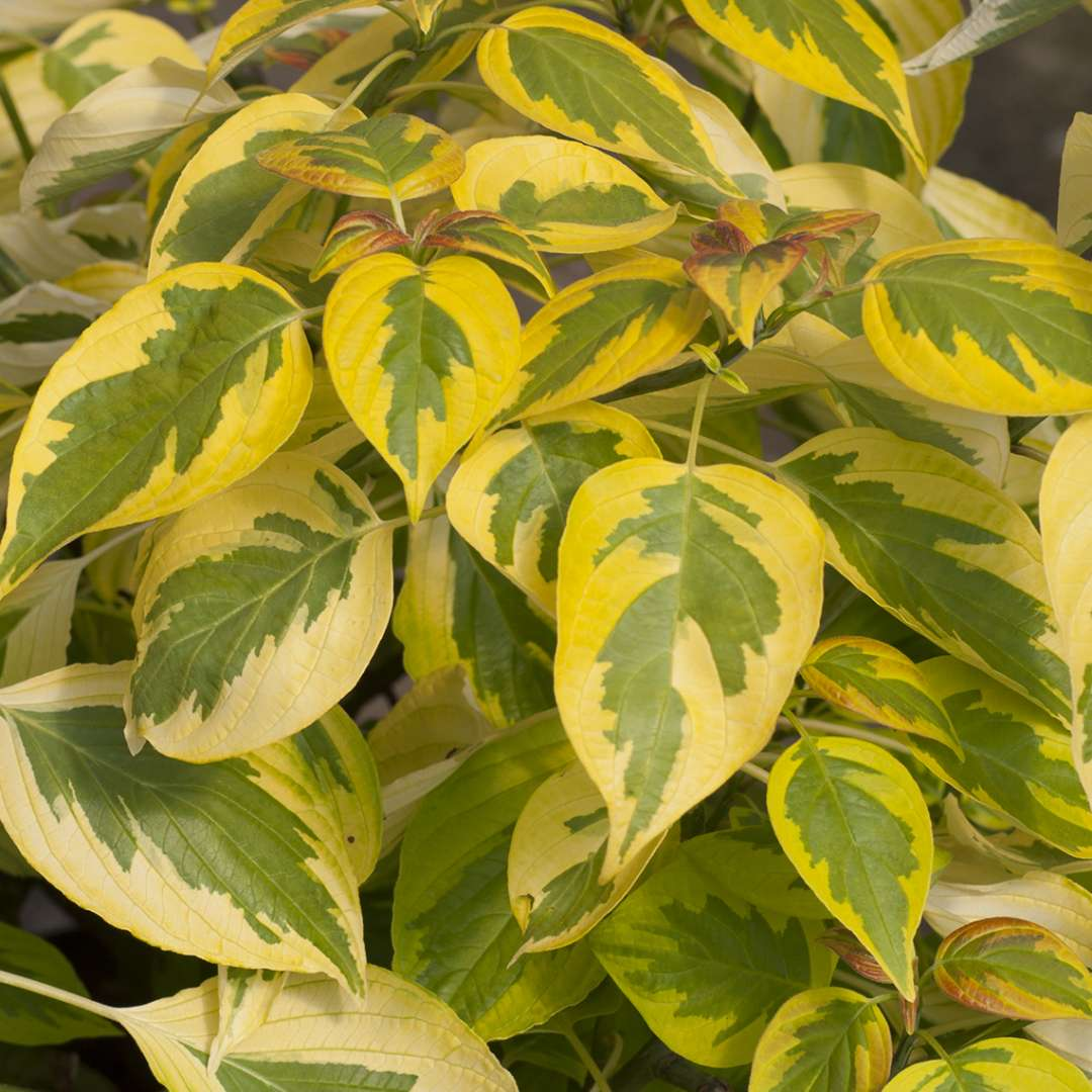 Variegated yellow and green foliage of Golden Shadows Cornus