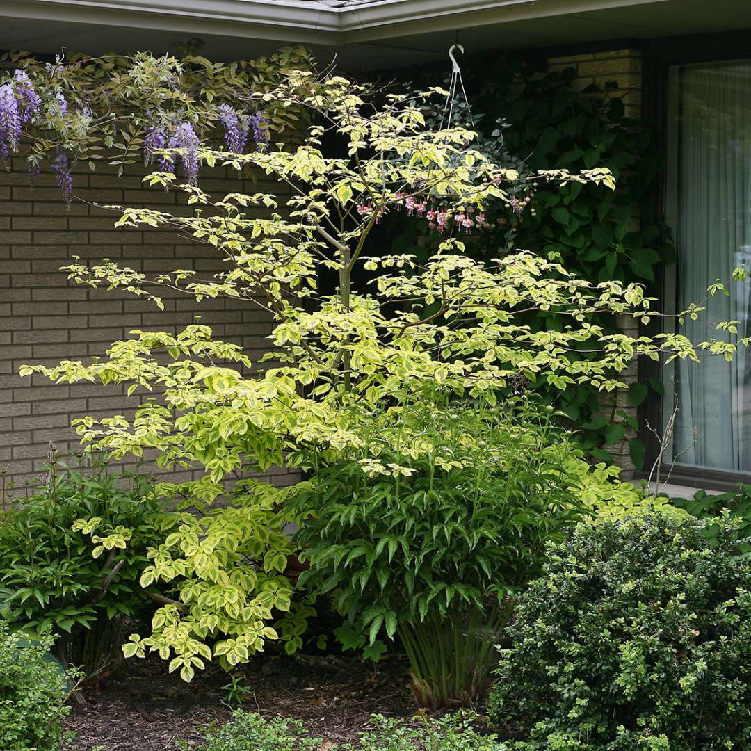 Golden Shadows Cornus in residential perennial garden