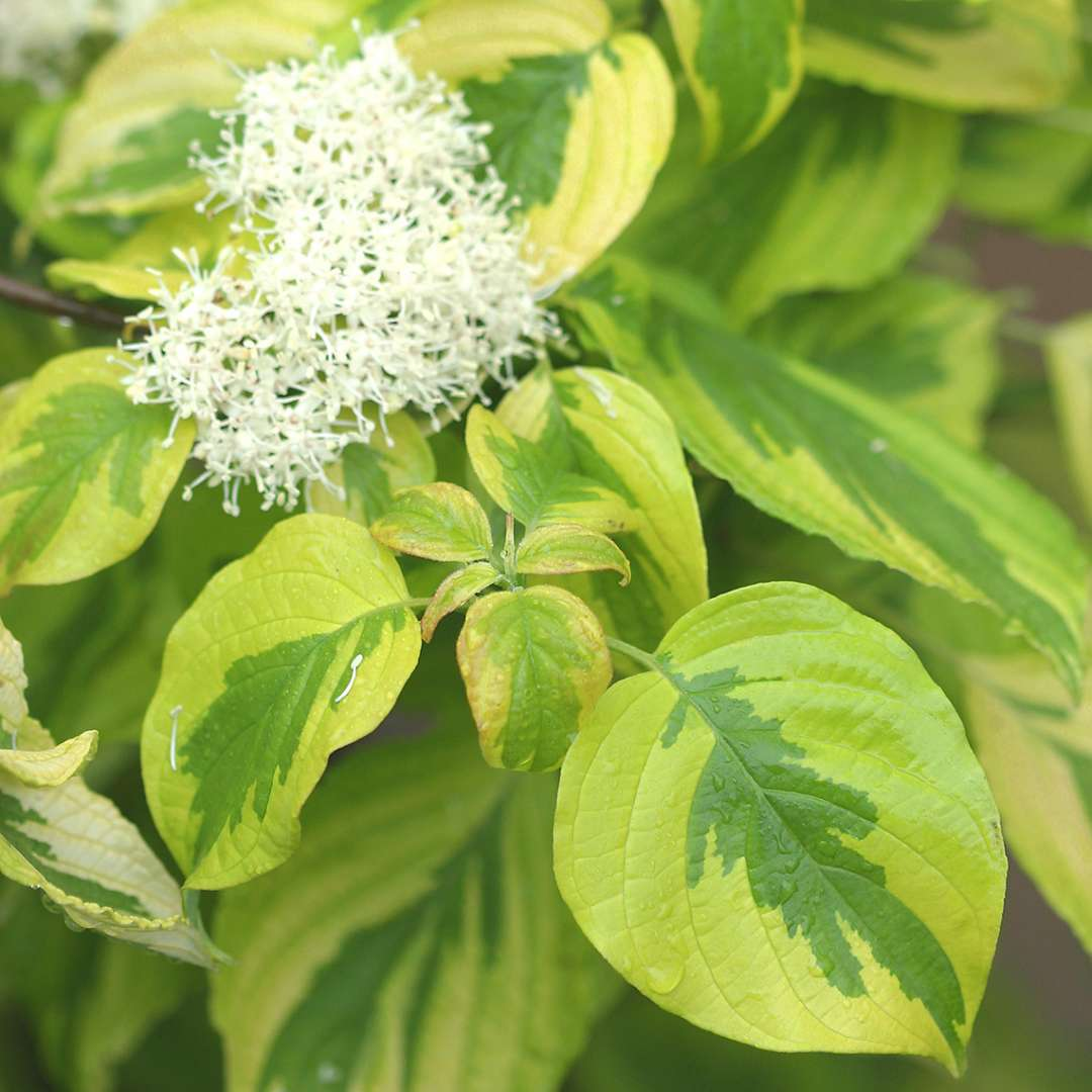 White flowers on Golden Shadows Cornus