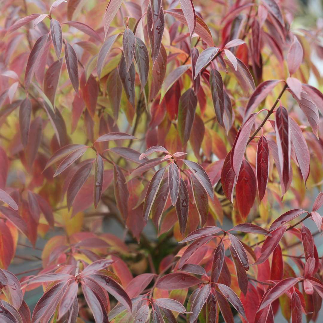 Red fall color on Red Rover Cornus