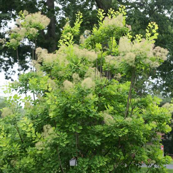 Smoky blooms on Golden Spirit Cotinus in landscape