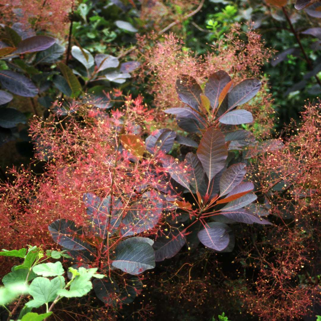 Close up of dark purple foliage and smoky red blooms of Cotinus Grace