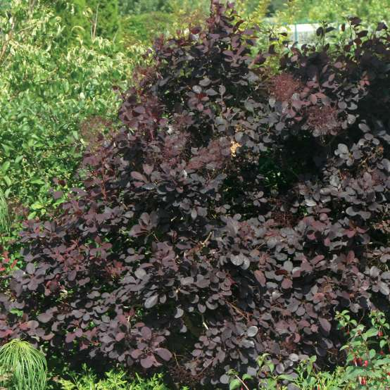 Cotinus Royal Purple in landscape