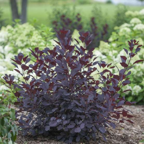 Small Winecraft Black Cotinus in landscape with hydrangeas