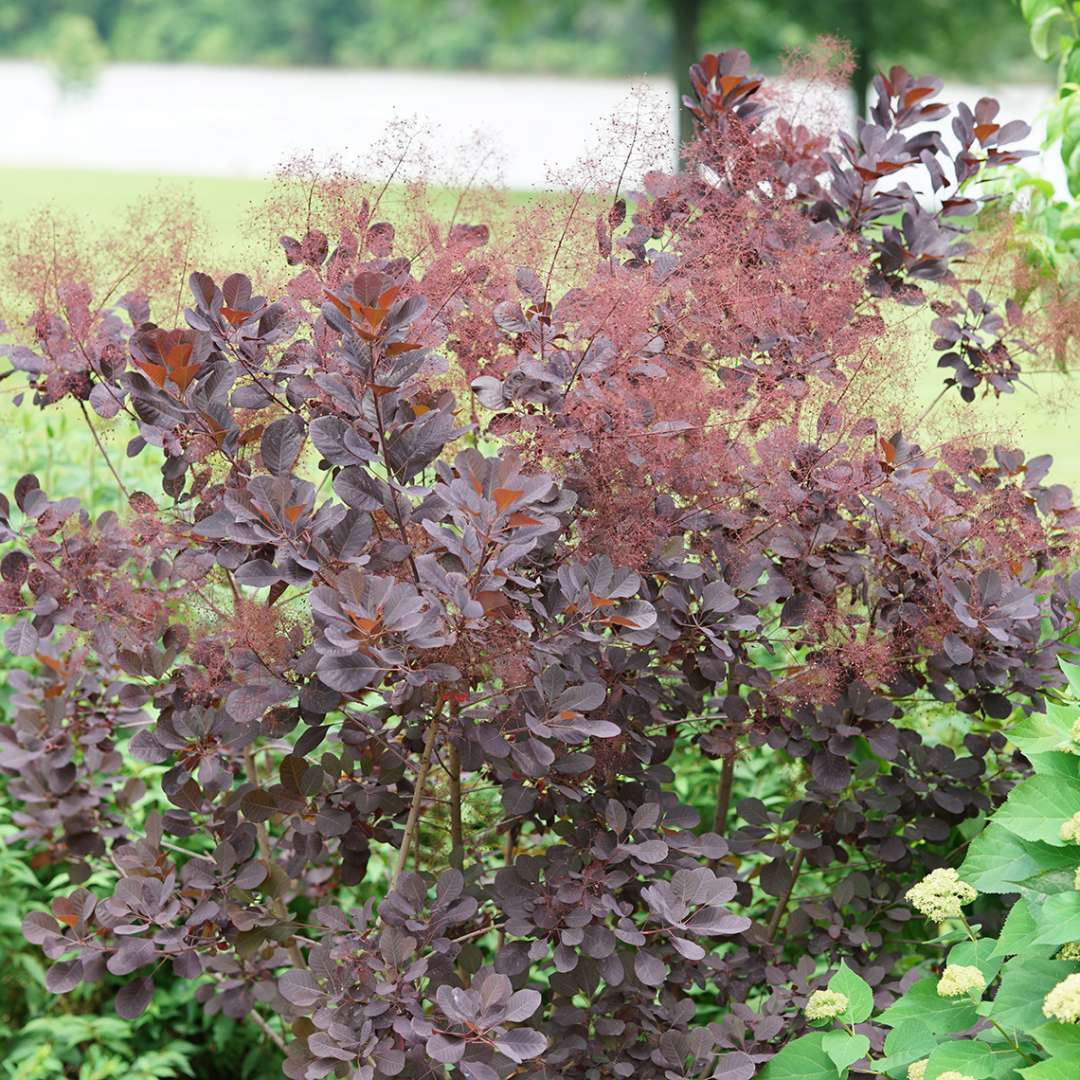 Blooming Winecraft Black Cotinus in garden