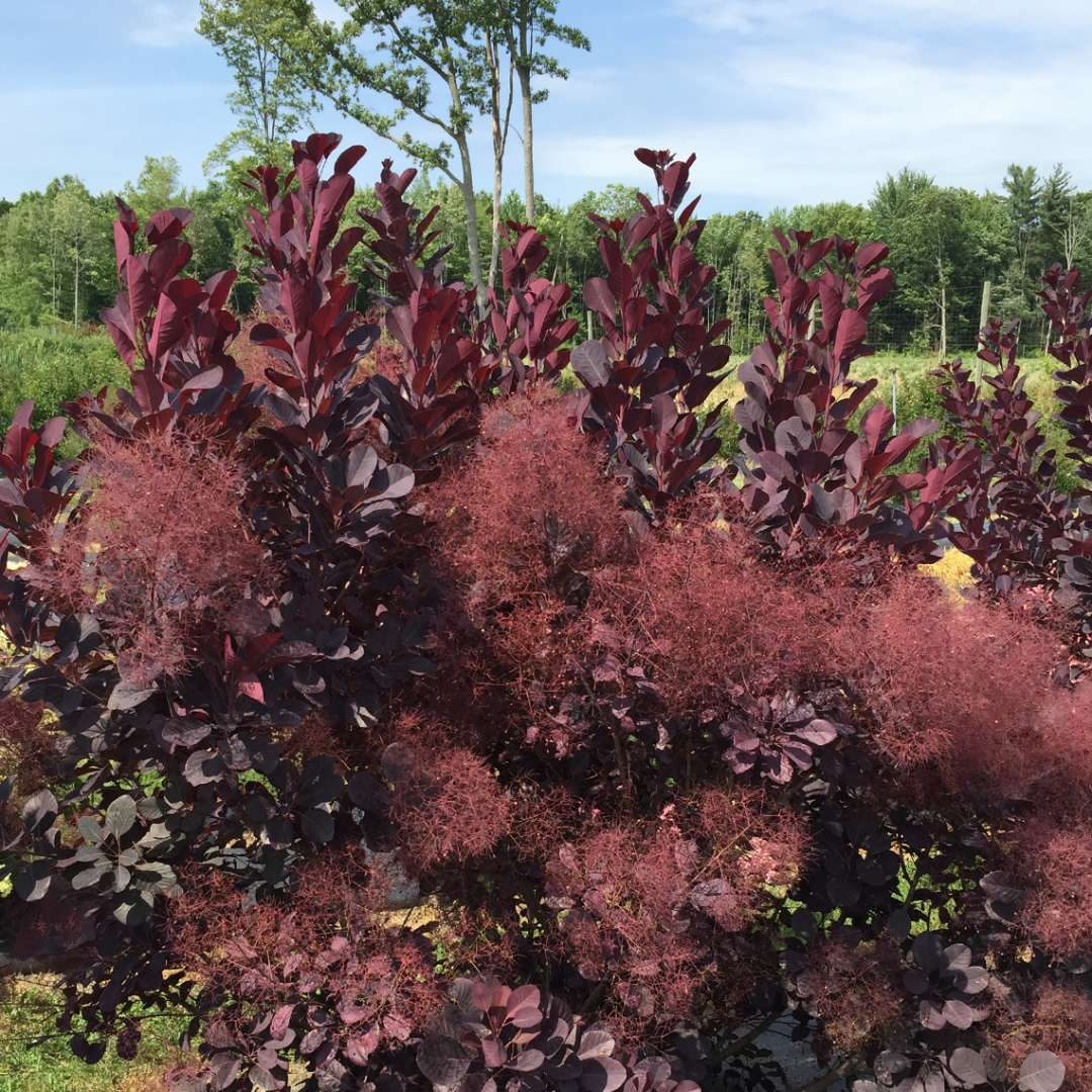 Blooming Winecraft Black Cotinus in trial field