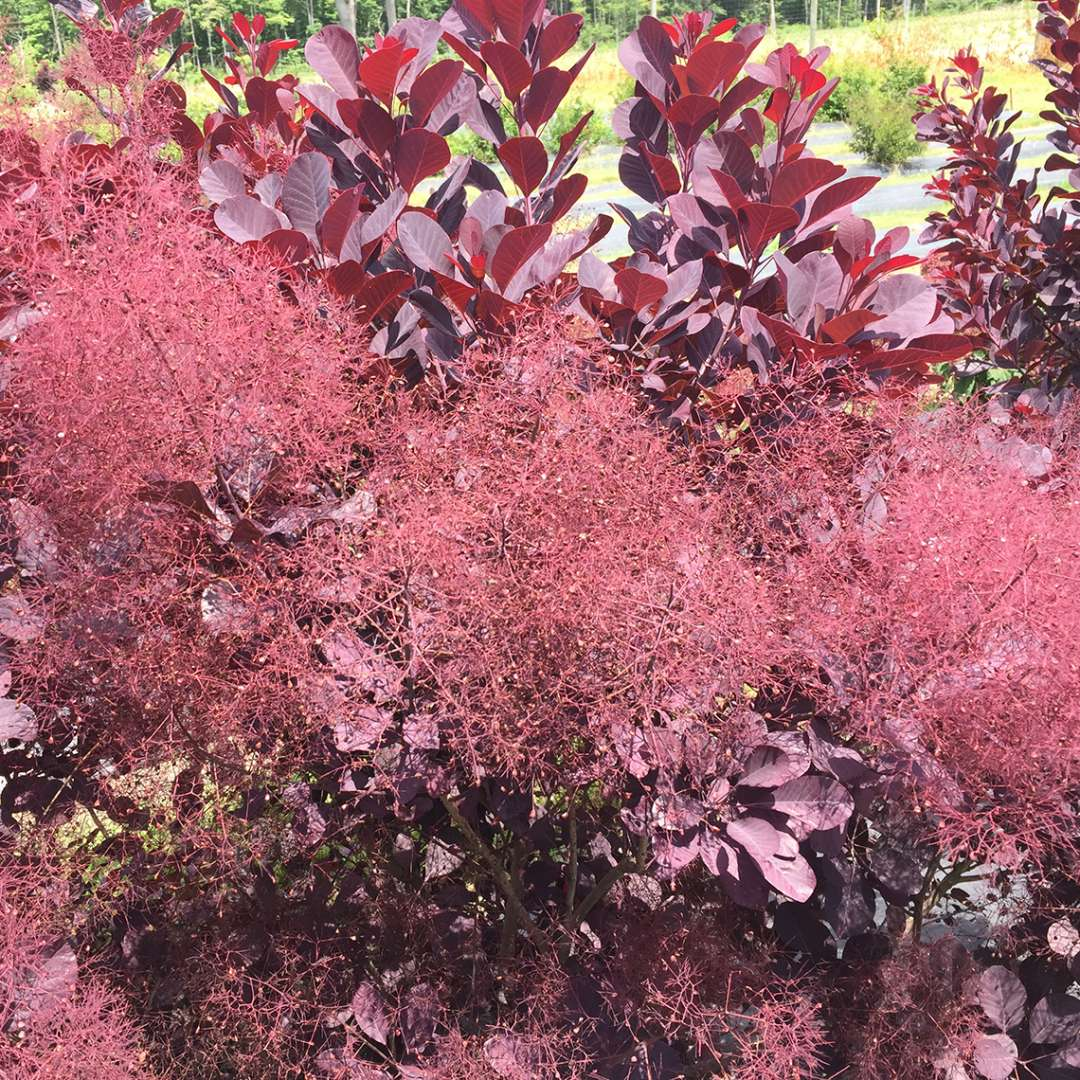 Close up of three smoky red Winecraft Black Cotinus blooms