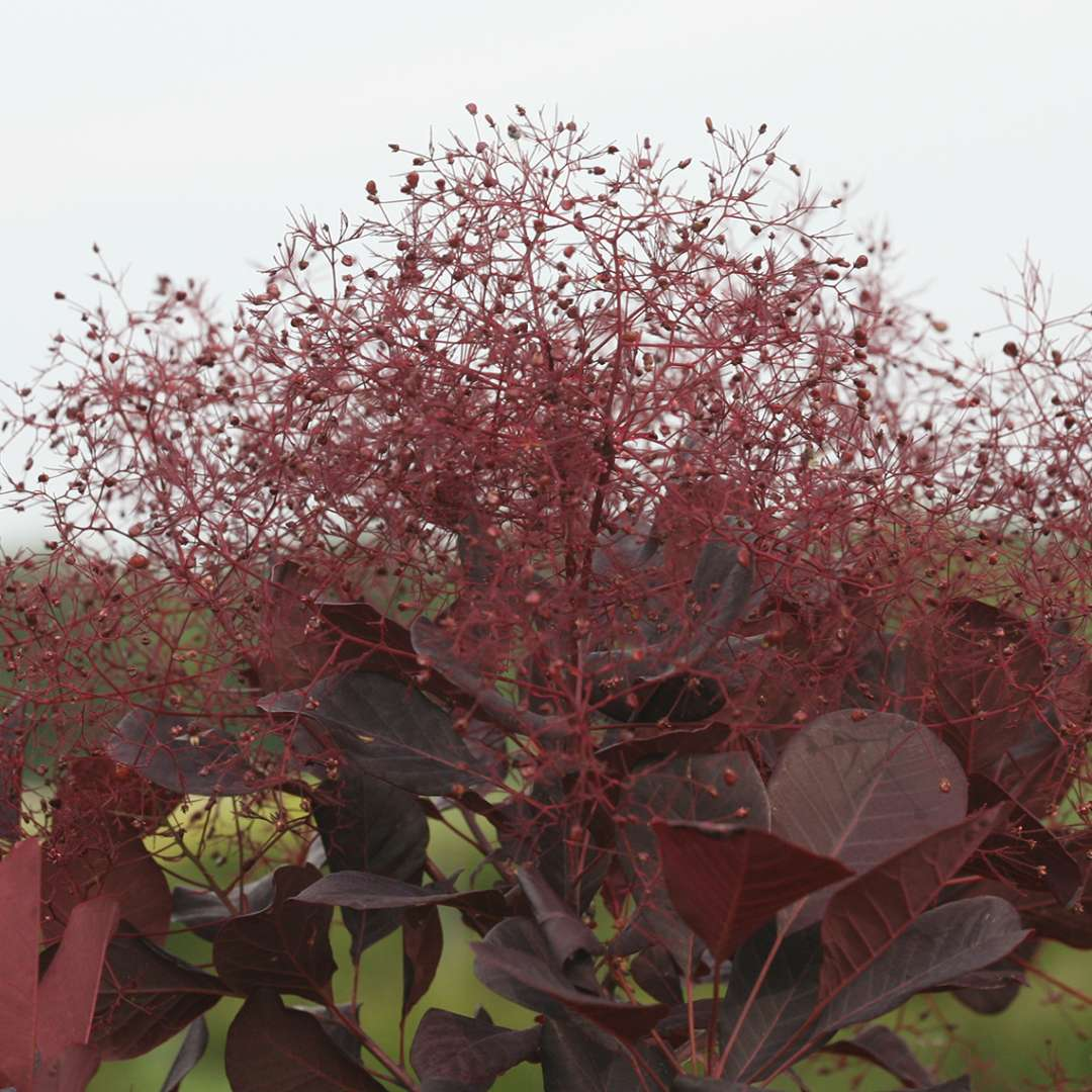 Close up of Winecraft Black Cotinus' bloom against sky