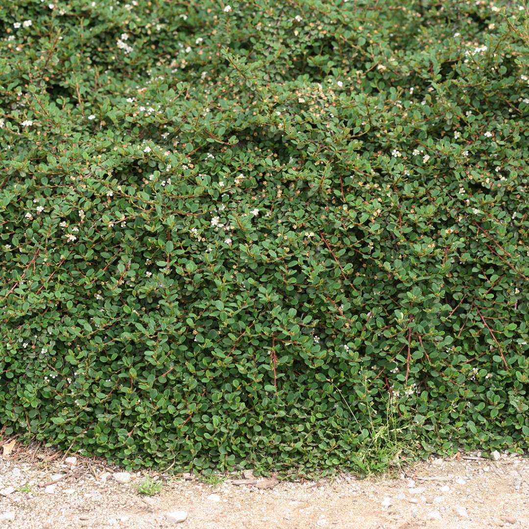Thick blanket of flowering Little Dipper Cotoneaster