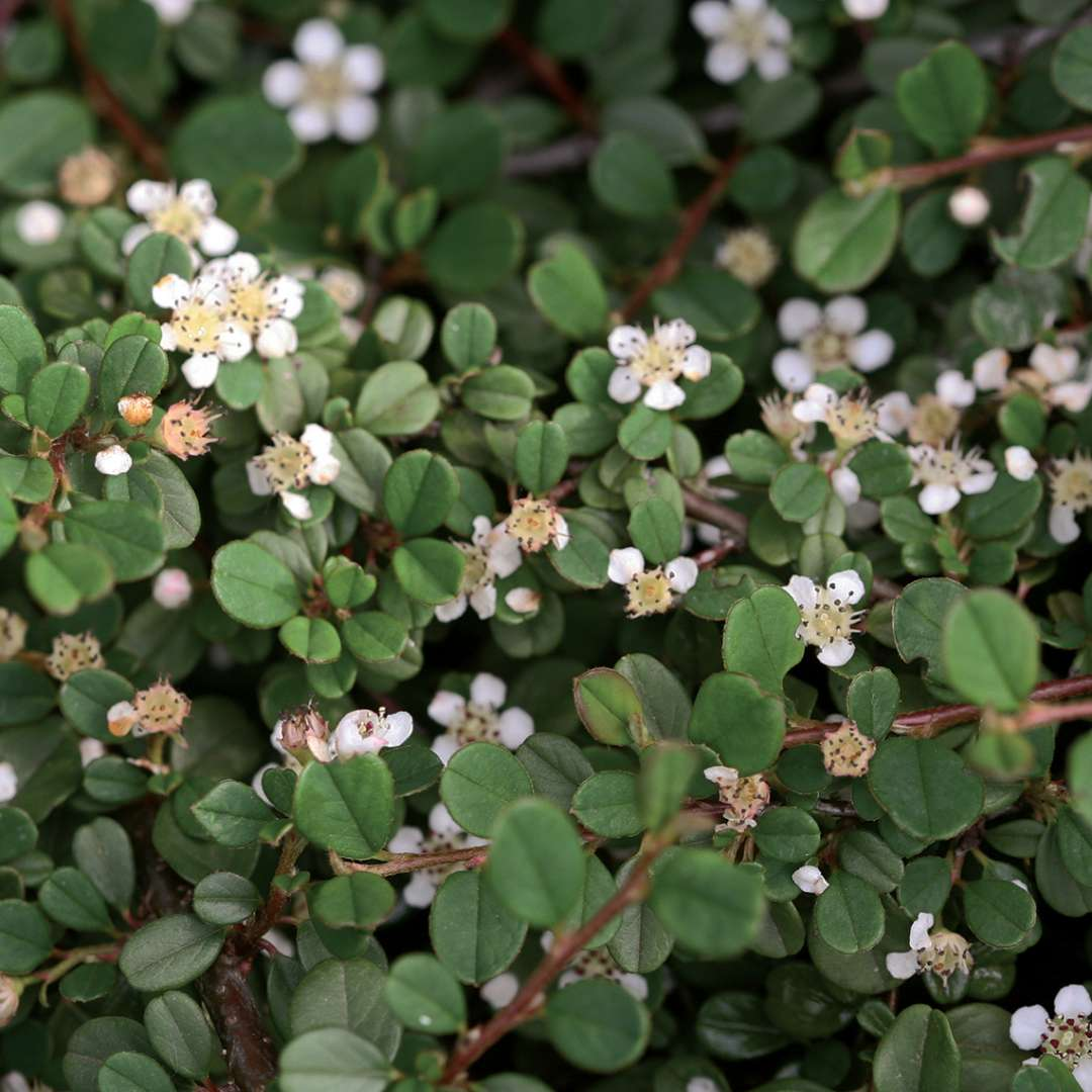 Close up of white flowering Little Dipper Cotoneaster