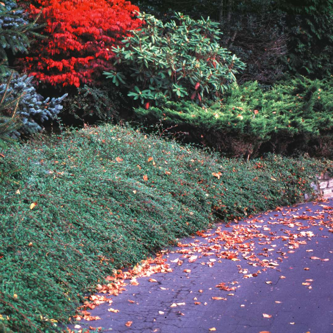 Cotoneaster Scarlet Leader in mature landscape along road