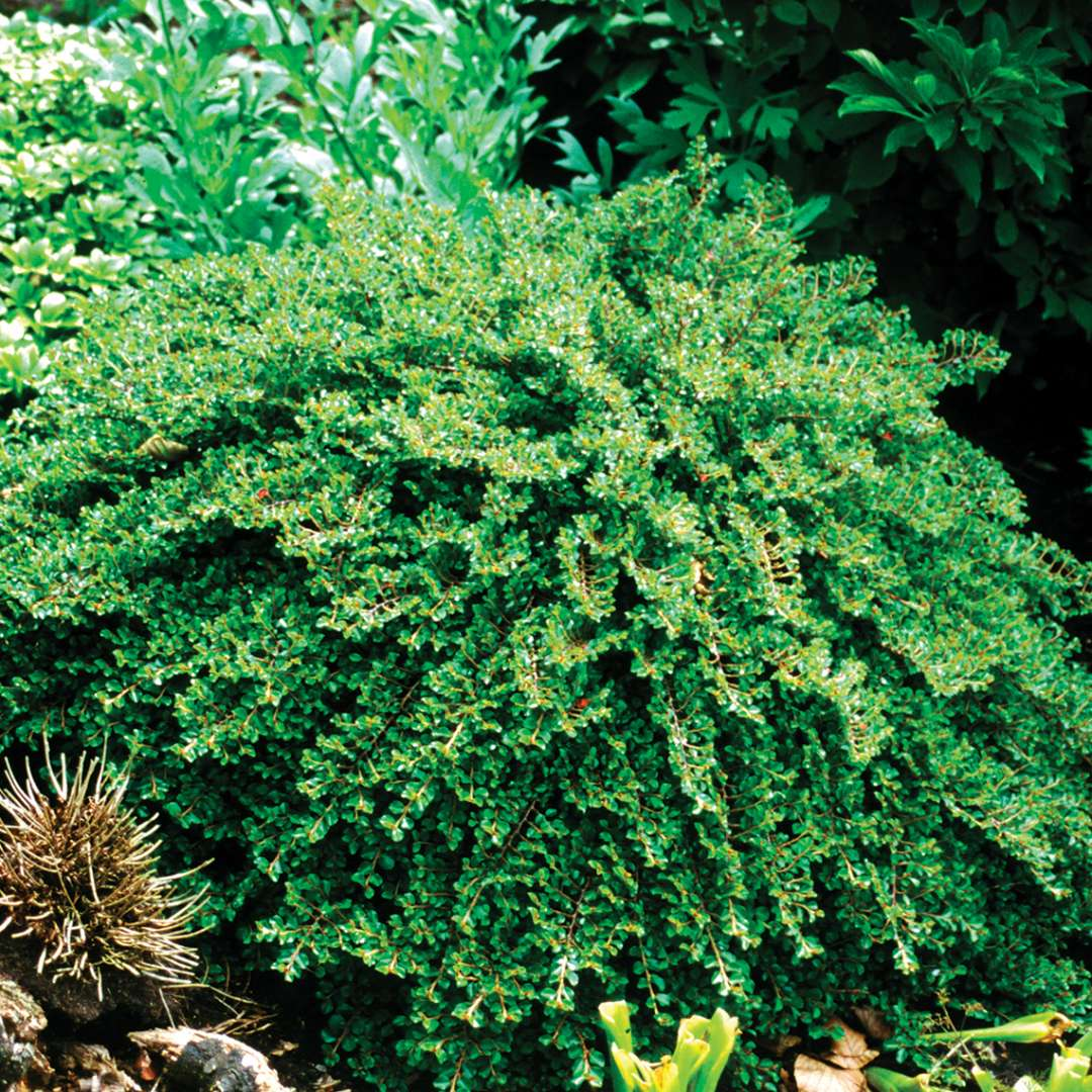 Cotoneaster Tom Thumb in landscape