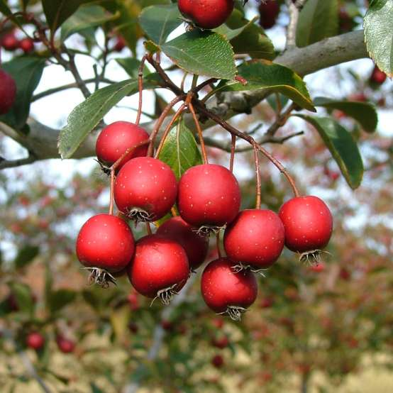 Crusader hawthorn is a native tree with ornamental red berries