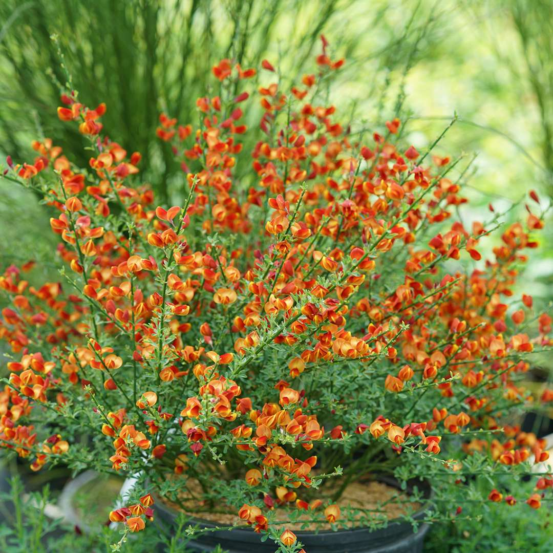 Blooming Cytisus Lena in greenhouse