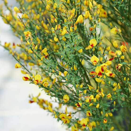 Yellow flowers with red throats on Sister Disco Cytisus