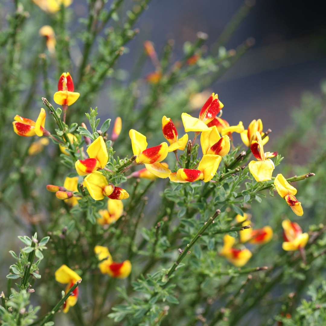 Close up of yellow and red Sister Disco Cytisus blooms