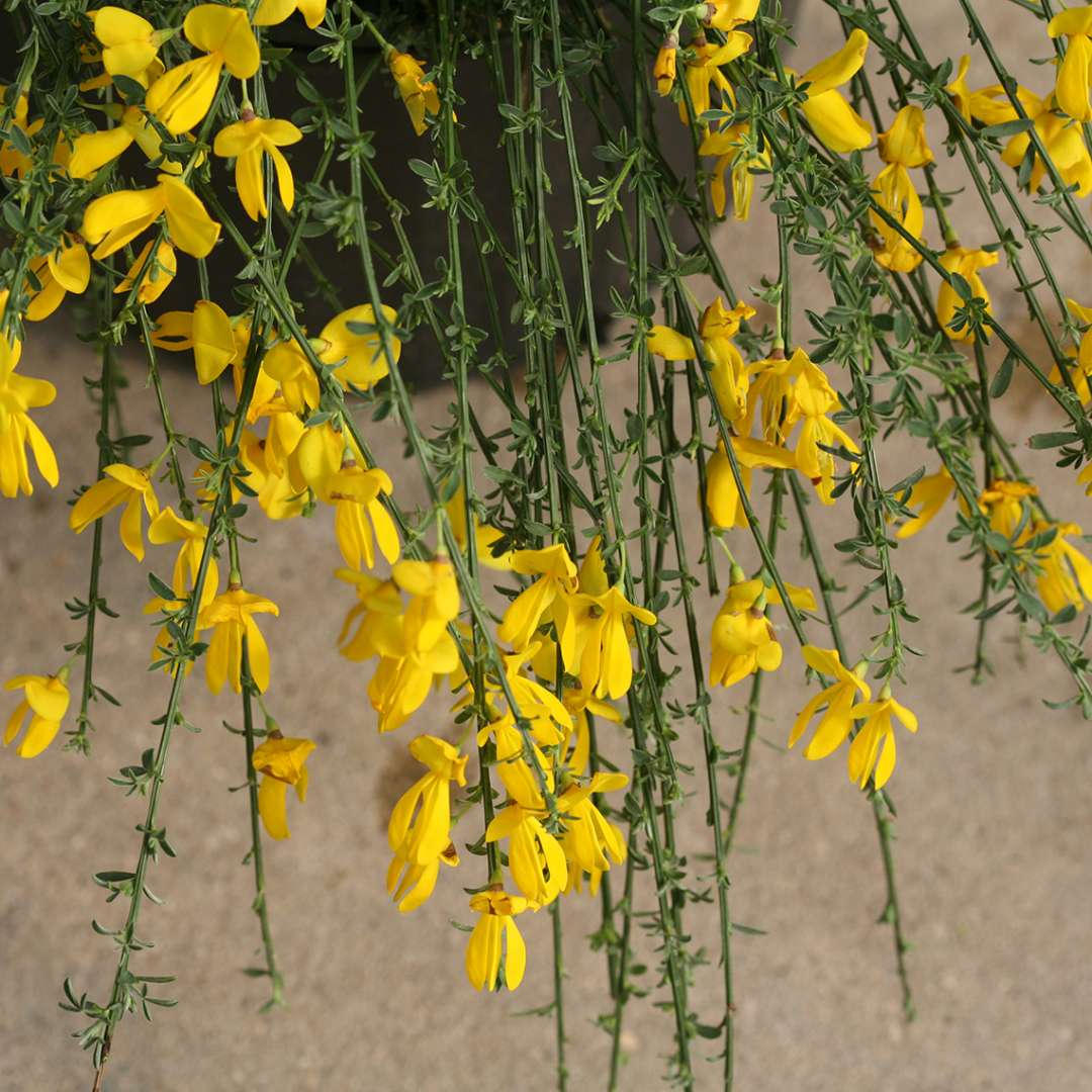 Draping branches of Sister Golden Hair Cytisus with yellow flowers and small foliage