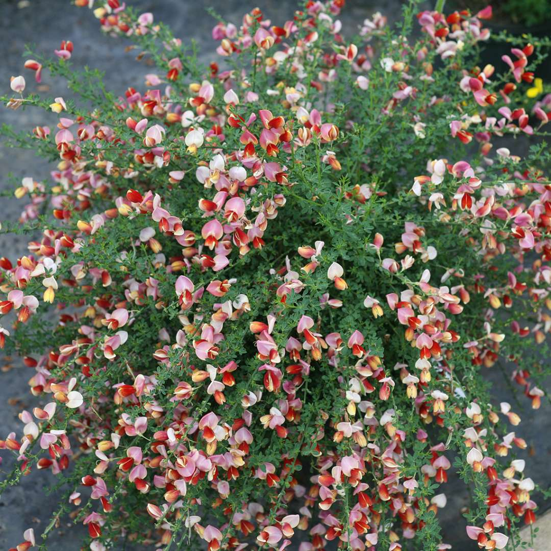 Sister Rosie Cytisus in greenhouse