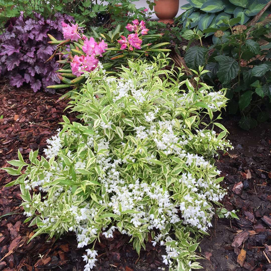 Crème Fraiche Deutzia white blooms and light green foliage in the landscape