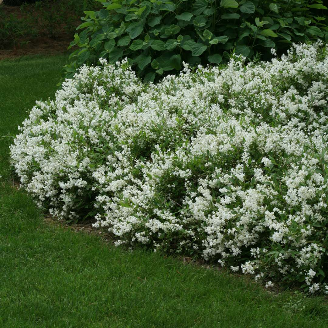 Row of Nikko Deutzia with white blooms in the landscape
