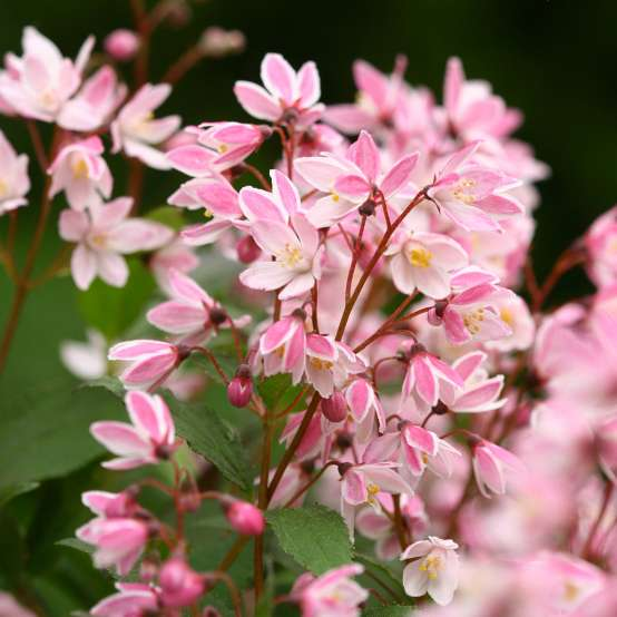 Close up of pink Yuki Cherry Blossom Deutzia blooms