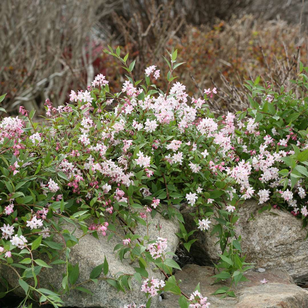 Yuki Cherry Blossom Deutzia blooming next to rock border in the landscape