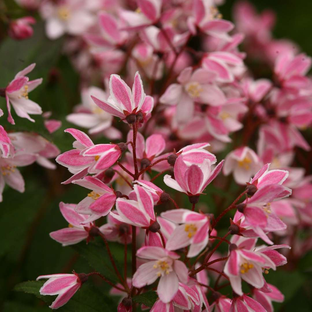 Close up of vibrant pink Yuki Cherry Blossom Deutzia blooms