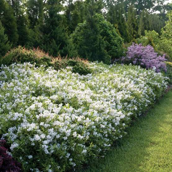 Heavy blooming Yuki Snowflake Deutzia in the landscape