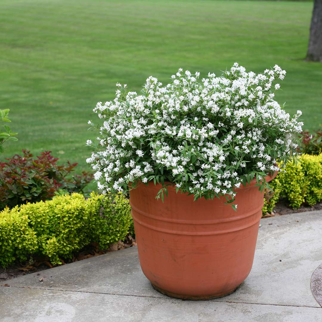Yuki Snowflake Deutzia blooming in a container