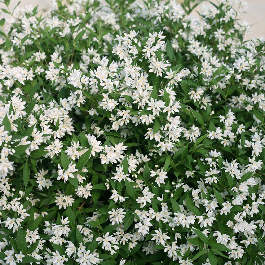 Abundant white blooms on Yuki Snowflake Deutzia