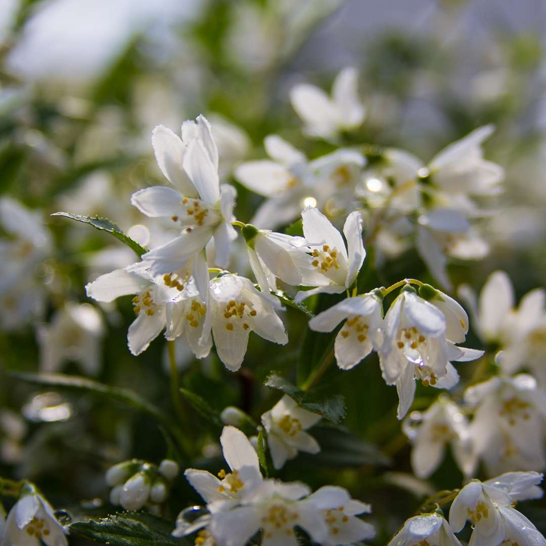 Close up of white Yuki Snowflake Deutzia blooms