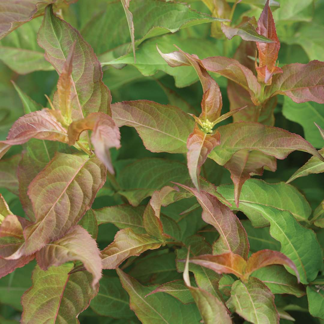 Close up of Kodiak Red Diervilla foliage
