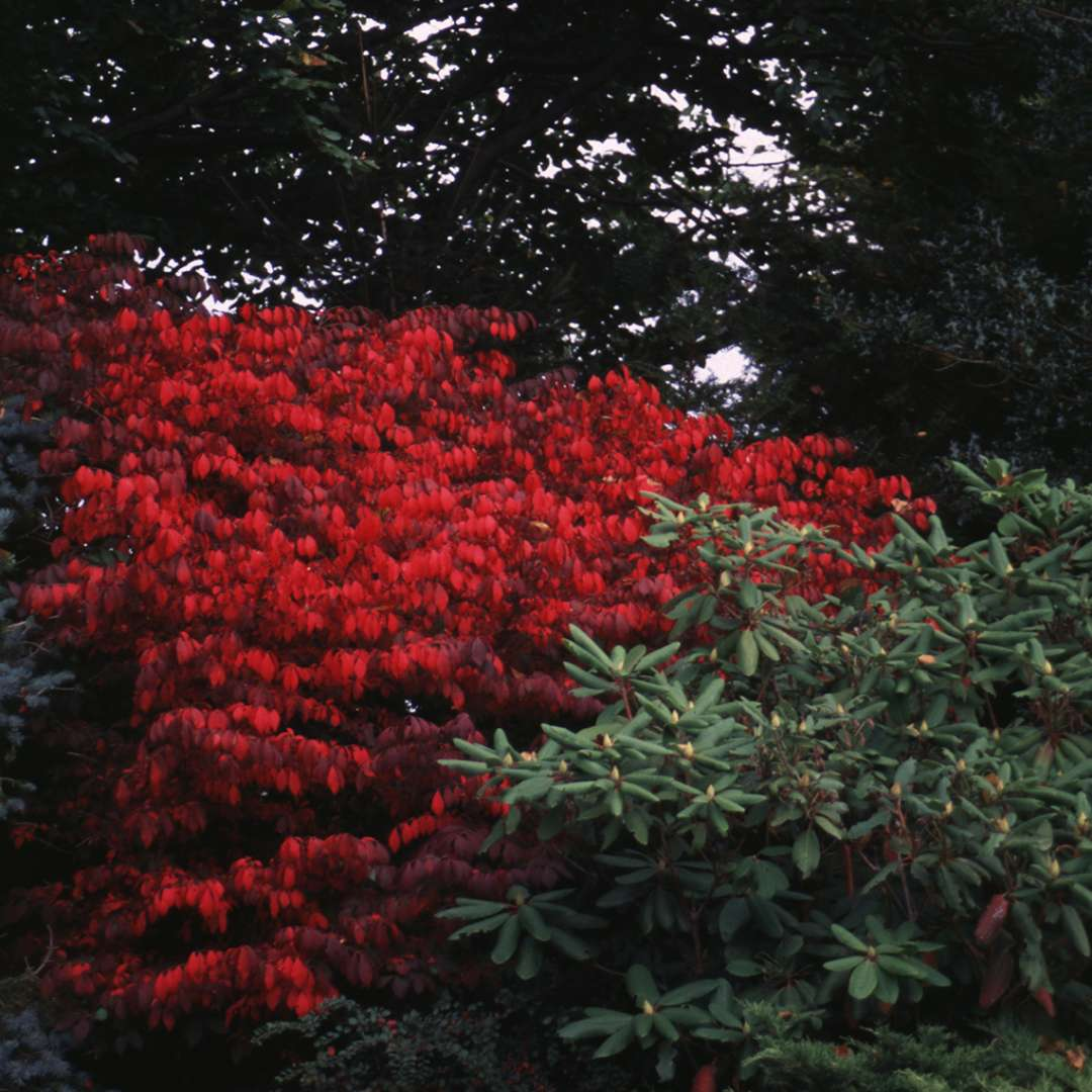 Compacta Euonymus bright red foliage in the landscape