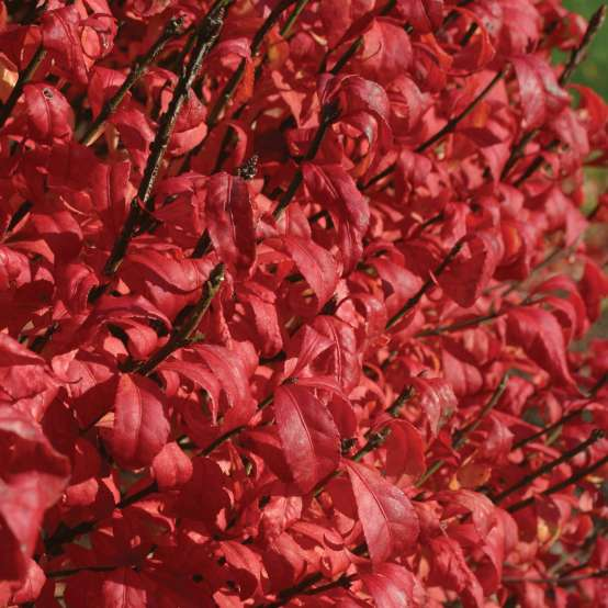 Close up of red Fire Ball Euonymus foliage