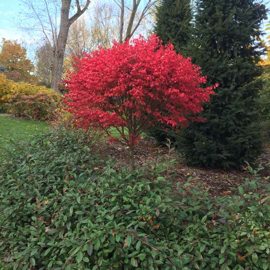 Unforgettable Fire Euonymus red foliage in tree form in the landscape