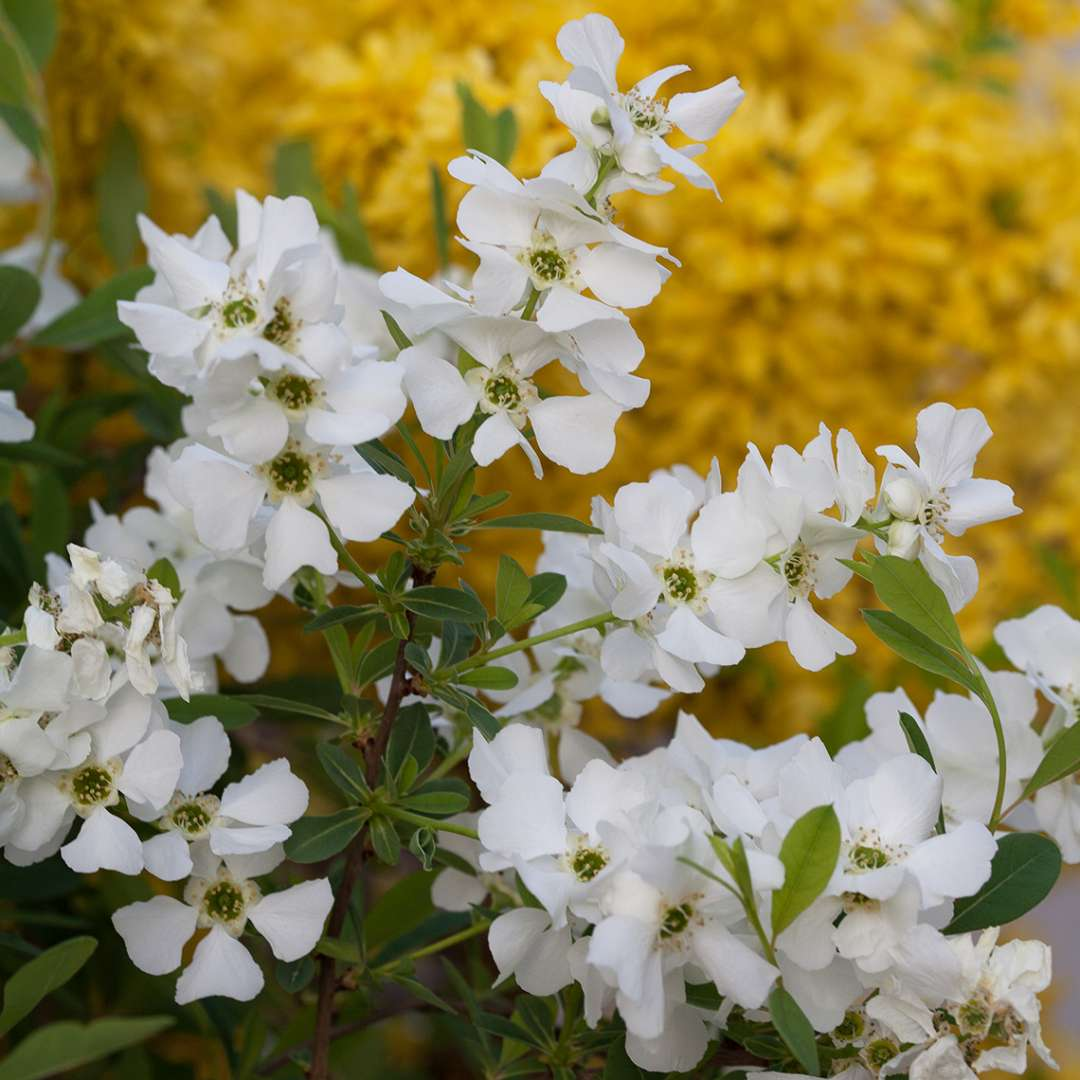 Close up of abundant white Snow Day Surprise Exochorda blooms with Forsythia in background
