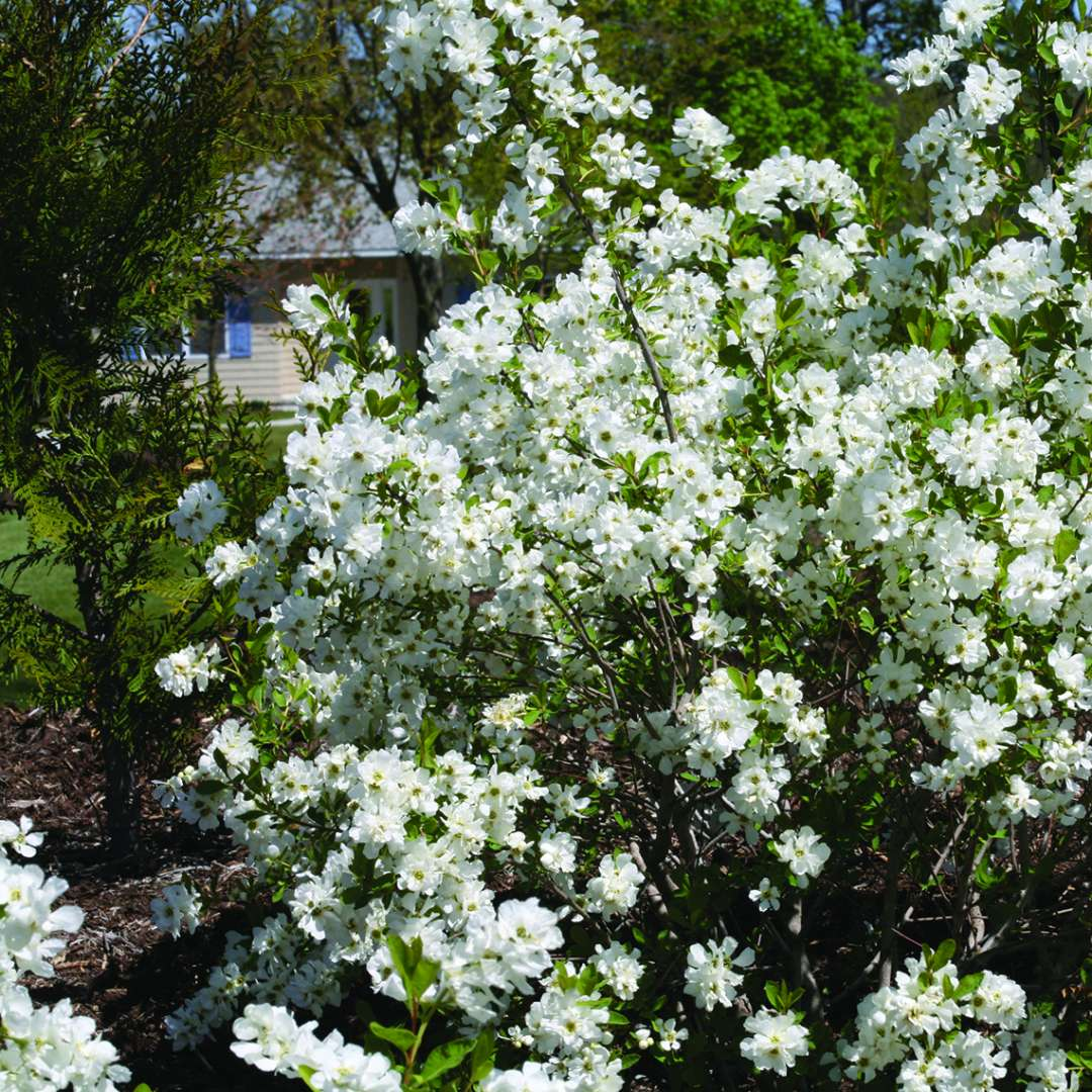 Snow Day Surprise Exochorda blooming in the landscape