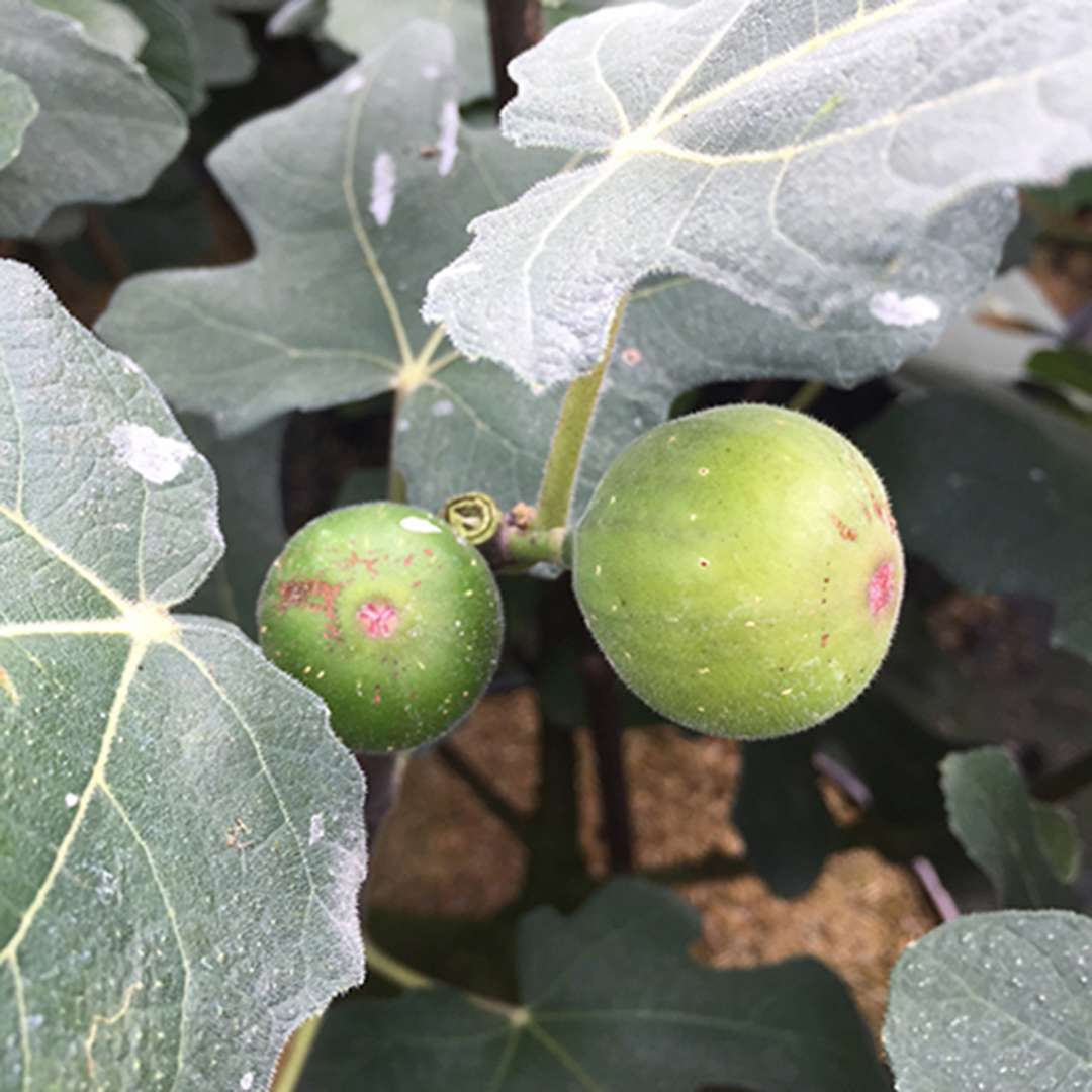 Close up of Chicago Hardy Ficus green figs