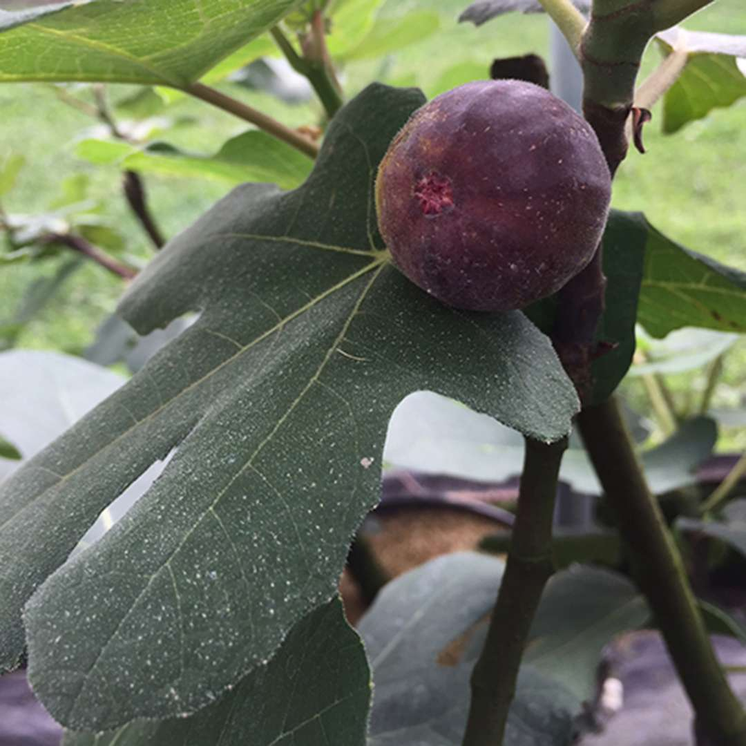 Close up of Chicago Hardy Ficus purple fig