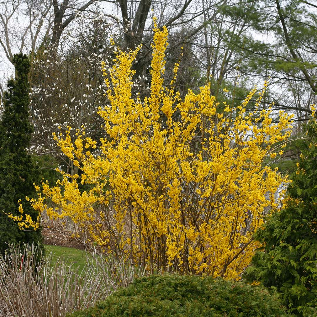 Show Off Forsythia blooming in the landscape
